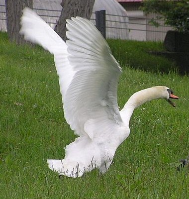swan in attack mode