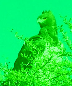 African Eagle
