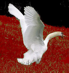 swan-in-attack-mode-2
