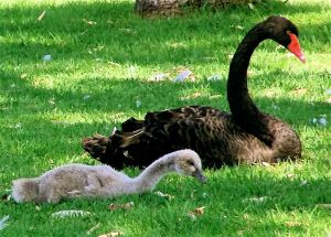 Black_Swan_and_Cygnet