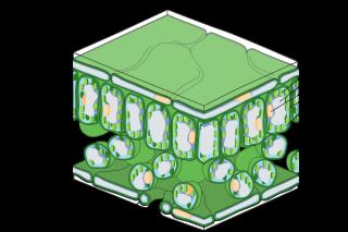600px-Leaf_Tissue_Structure_svg